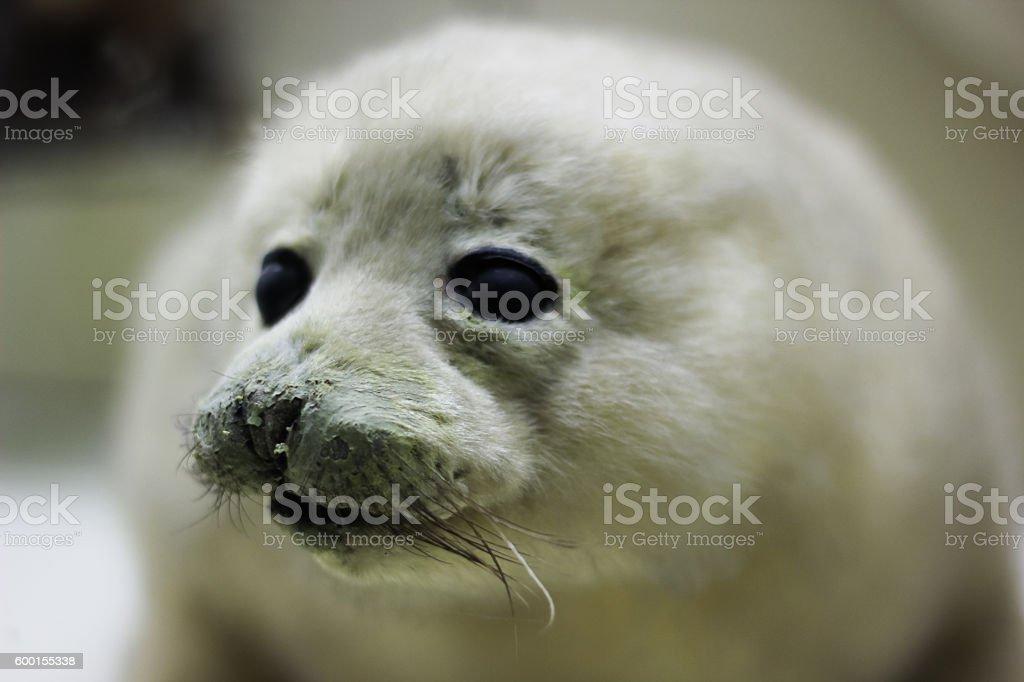 baby harp seal on ice floe in canadian atlantic stock photo