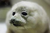 baby harp seal on ice floe in canadian atlantic