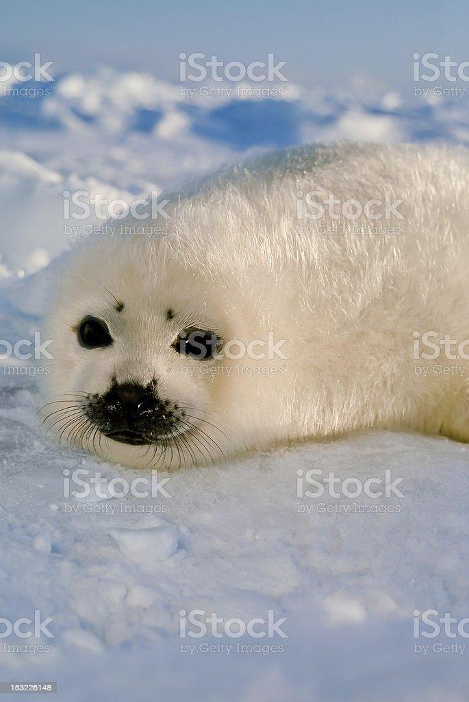 baby harp seal pup on ice floe in north atlantic stock photo