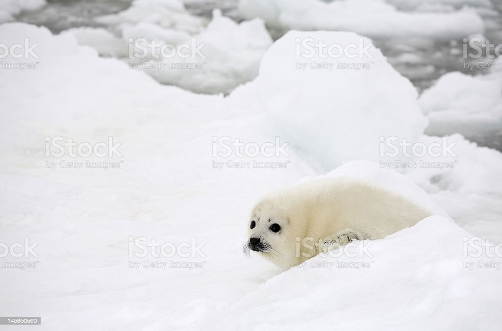 Baby harp seal pup on ice of the White Sea stock photo