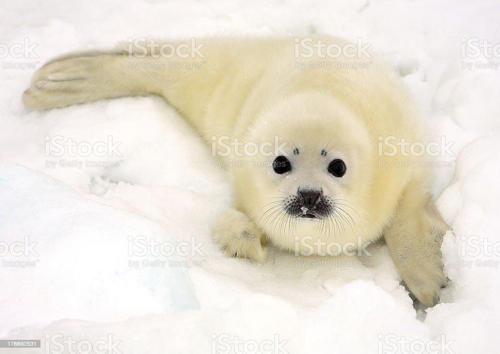 Baby harp seal pup stock photo