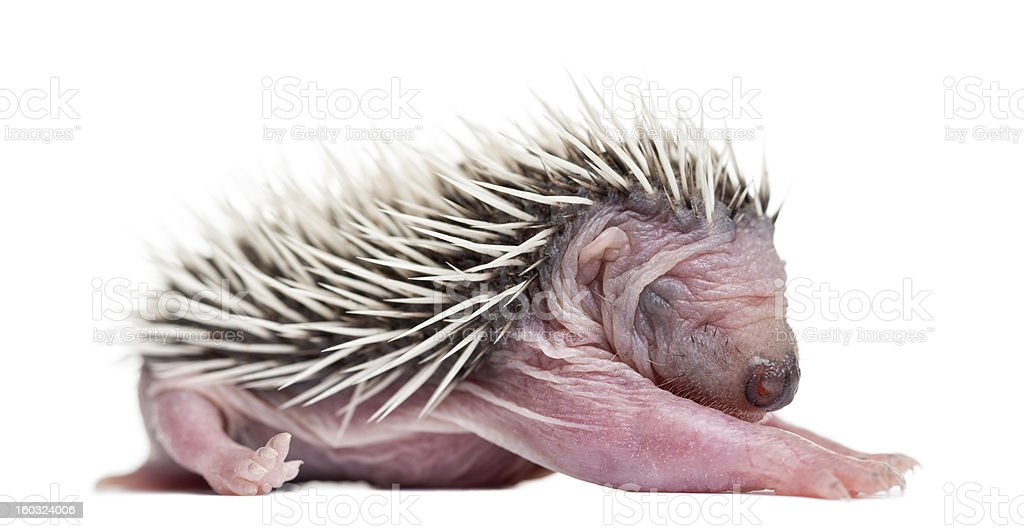 Baby Hedgehog, 4 days old, against white background royalty-free stock photo