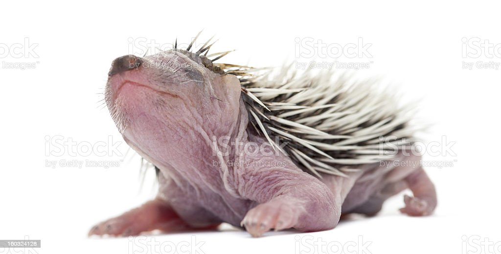 Baby Hedgehog, 4 days old, against white background stock photo