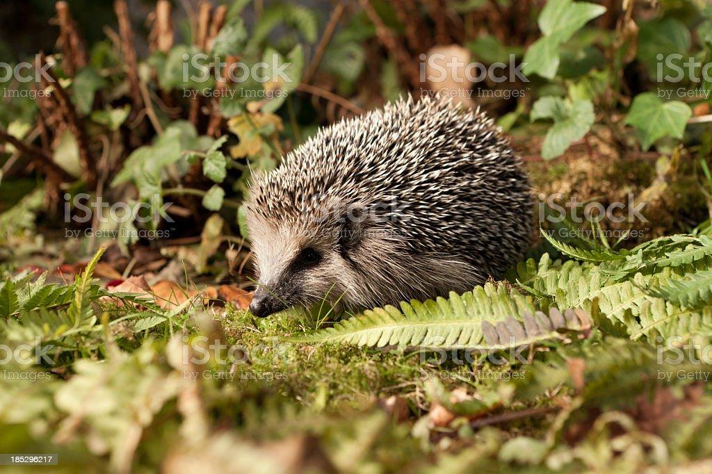 Baby hedgehog amongst dense foliage stock photo
