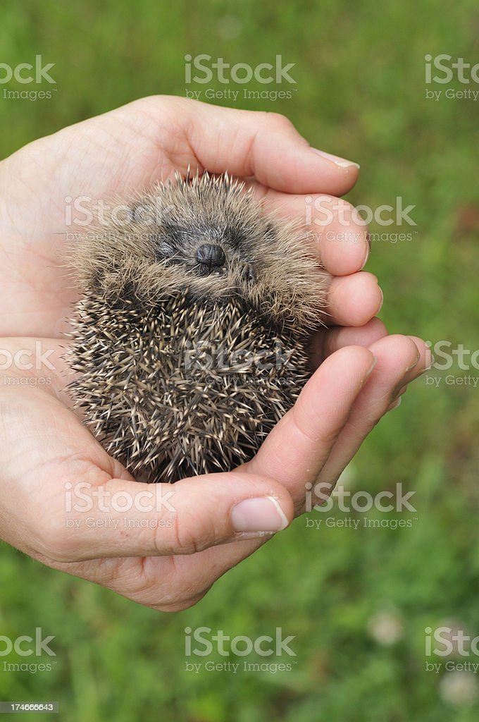 Baby Hedgehog in the hands royalty-free stock photo