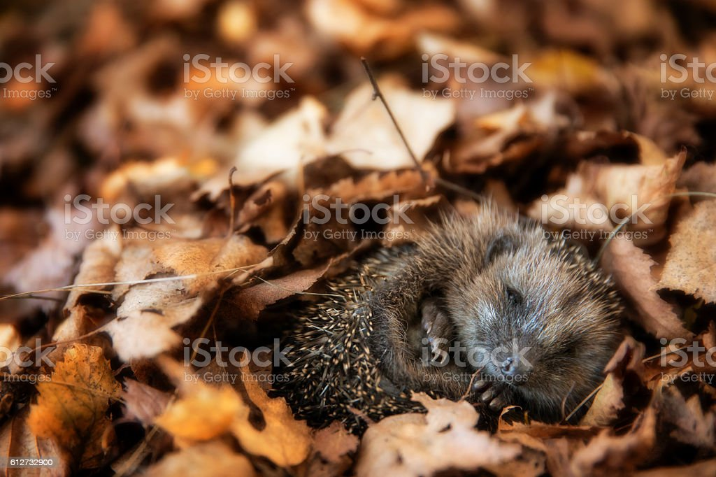 Baby hedgehog is sleeping in autumn leaves stock photo