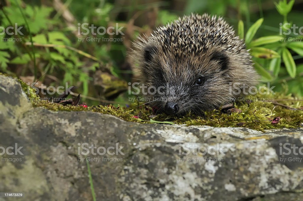 Baby Hedgehog on a wall royalty-free stock photo