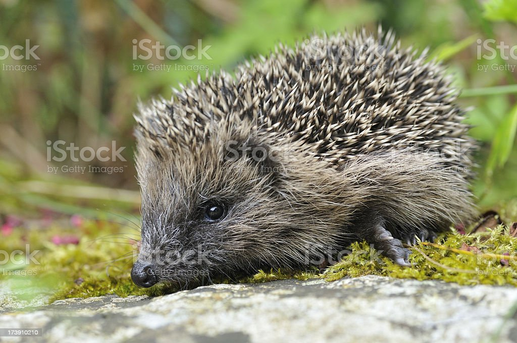 Baby Hedgehog royalty-free stock photo