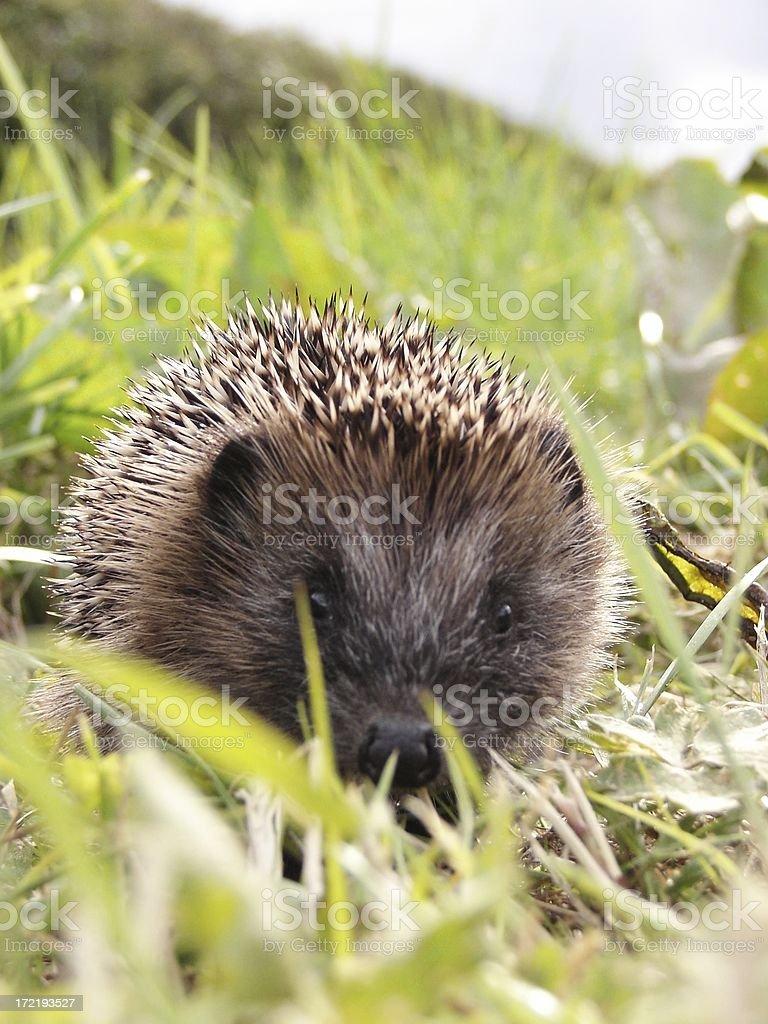 Baby Hedgehog Portrait royalty-free stock photo