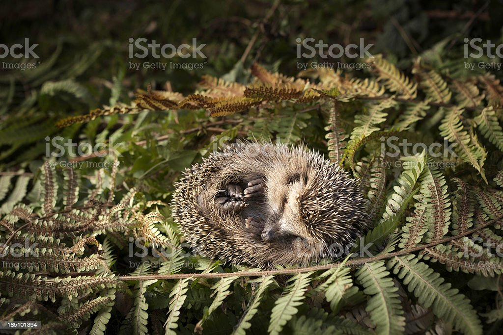 Baby Hedgehog Surrounded by Leaves stock photo