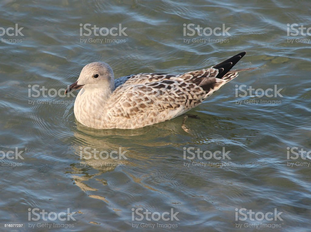 Baby Herring gull / seagull swimming in sea water, seaside beach stock photo