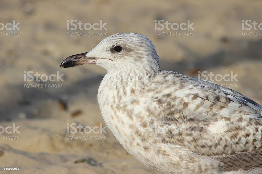 Baby Herring gull / seagull swimming standing on seaside beach, sand stock photo