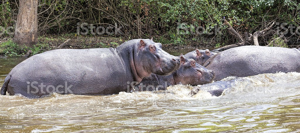 baby Hippo with mother stock photo