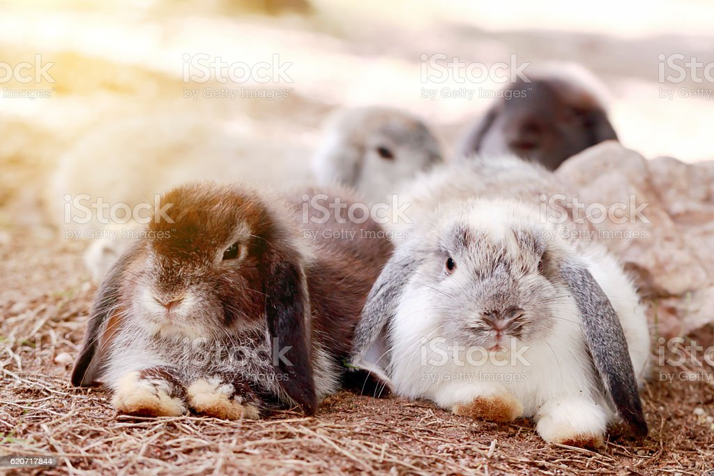 Baby Holland lop rabbit eating grass in park stock photo