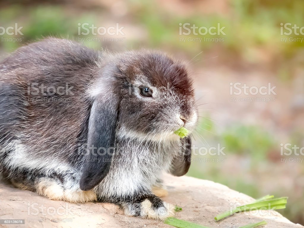Baby Holland lop rabbit eating grass stock photo