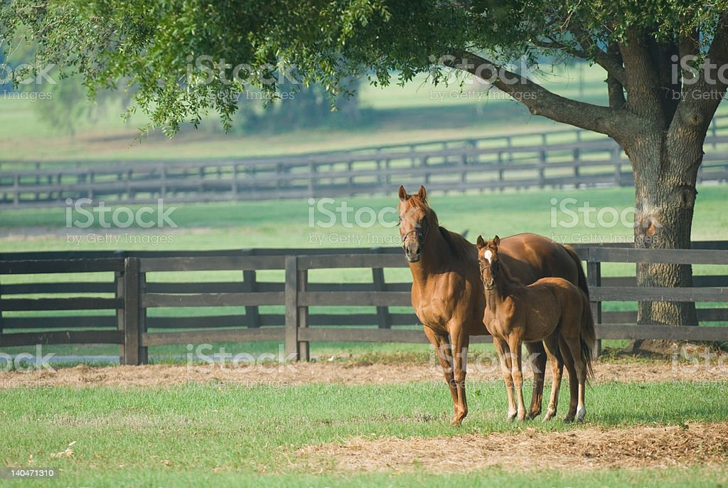Baby horse and mare equine stock photo