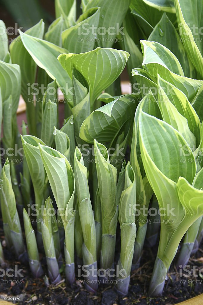Baby hostas stock photo
