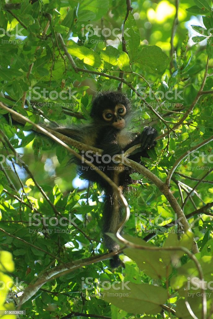 Baby Howler Monkey in a Tree royalty-free stock photo
