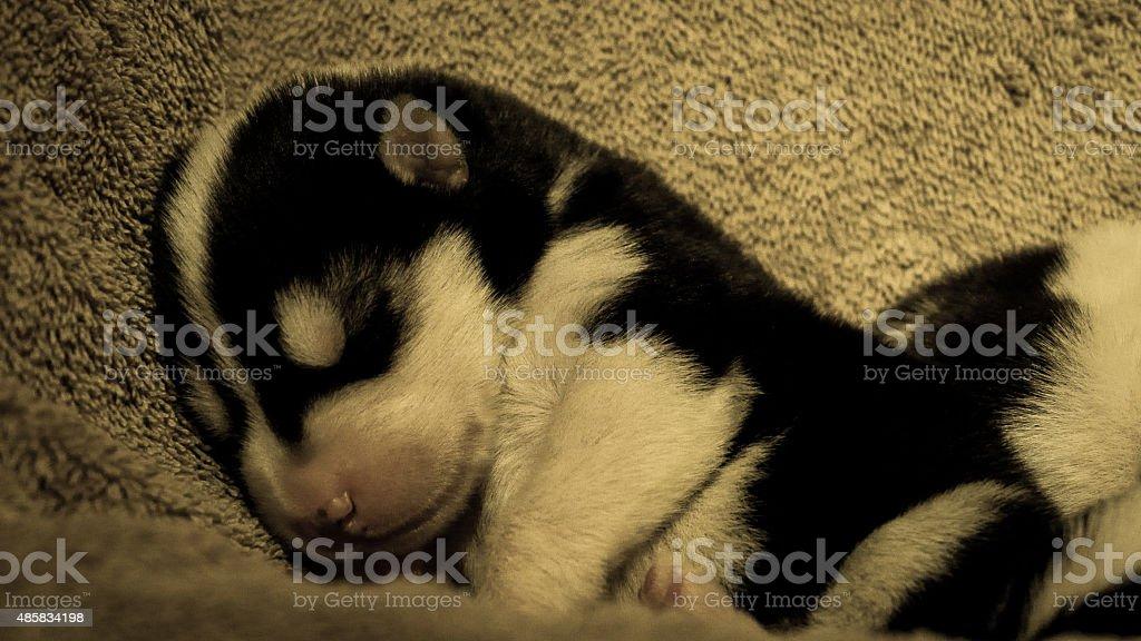 Baby Husky Sleeping stock photo