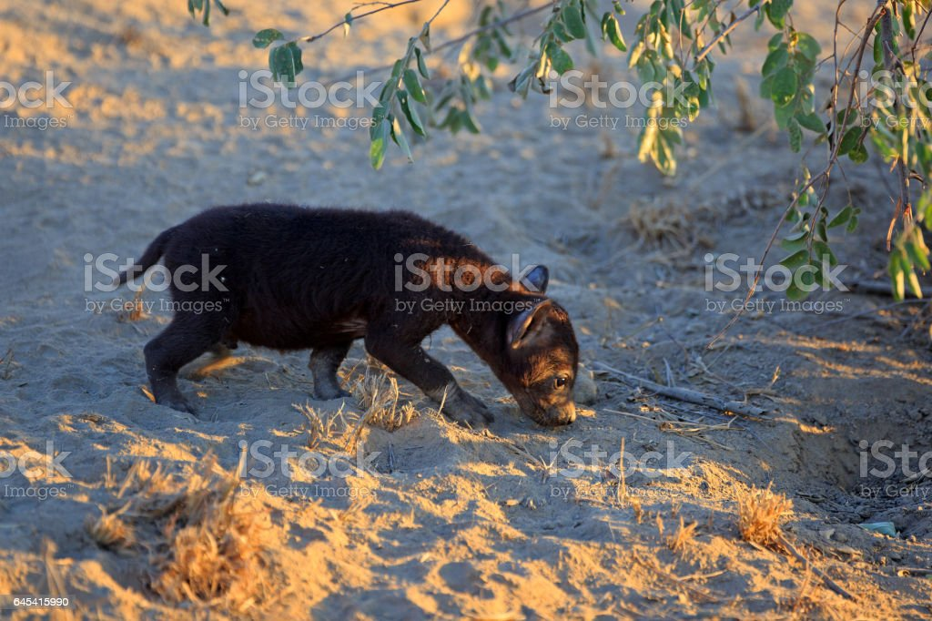 Baby Hyaena stock photo