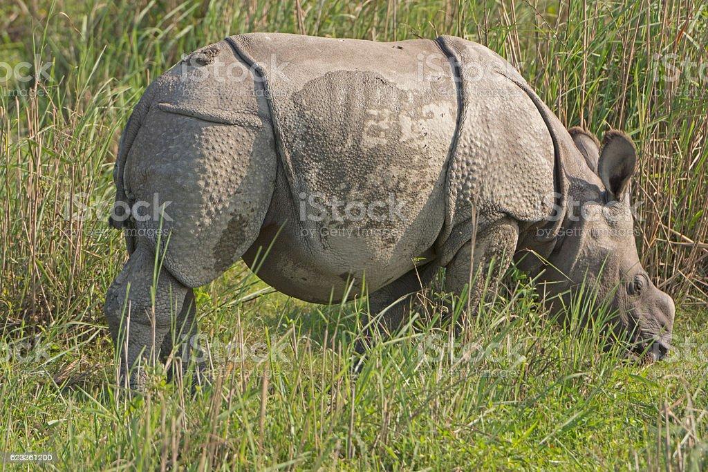 Baby Indian Rhino in the Grassland stock photo