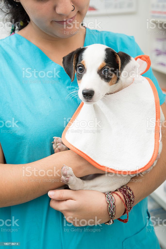 baby jack russel royalty-free stock photo