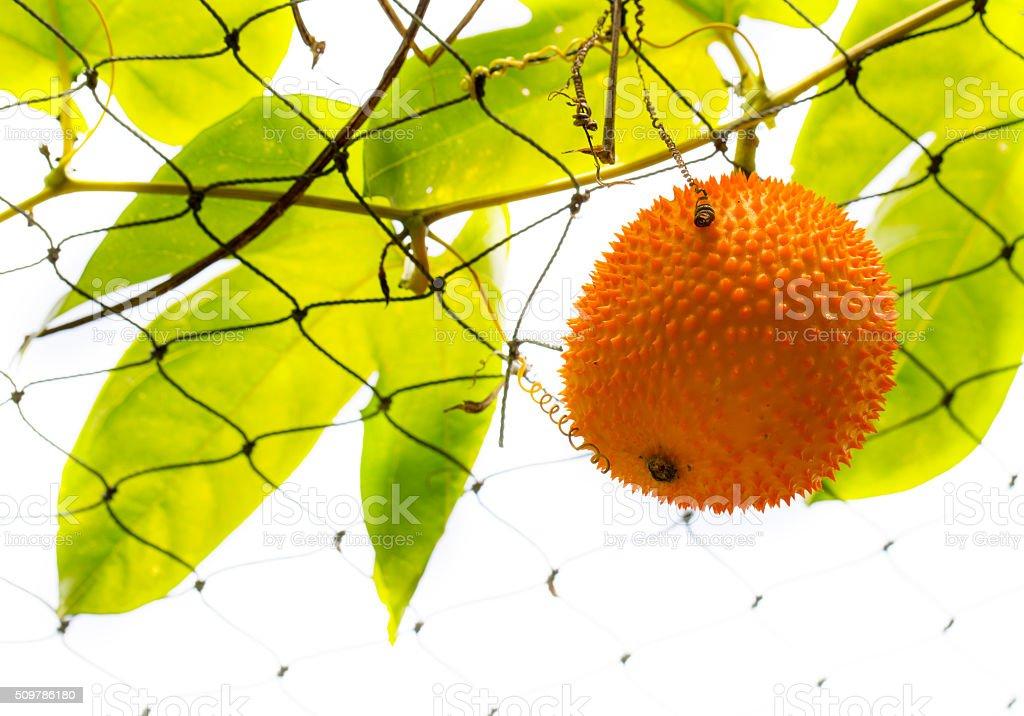 Baby Jackfruit stock photo