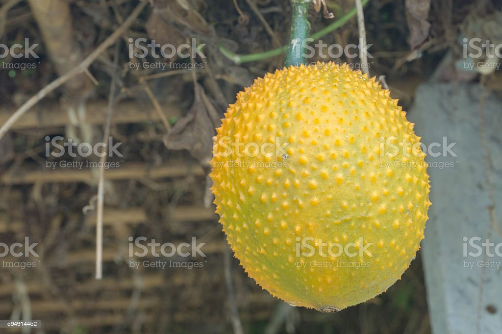 Baby Jackfruit stock photo