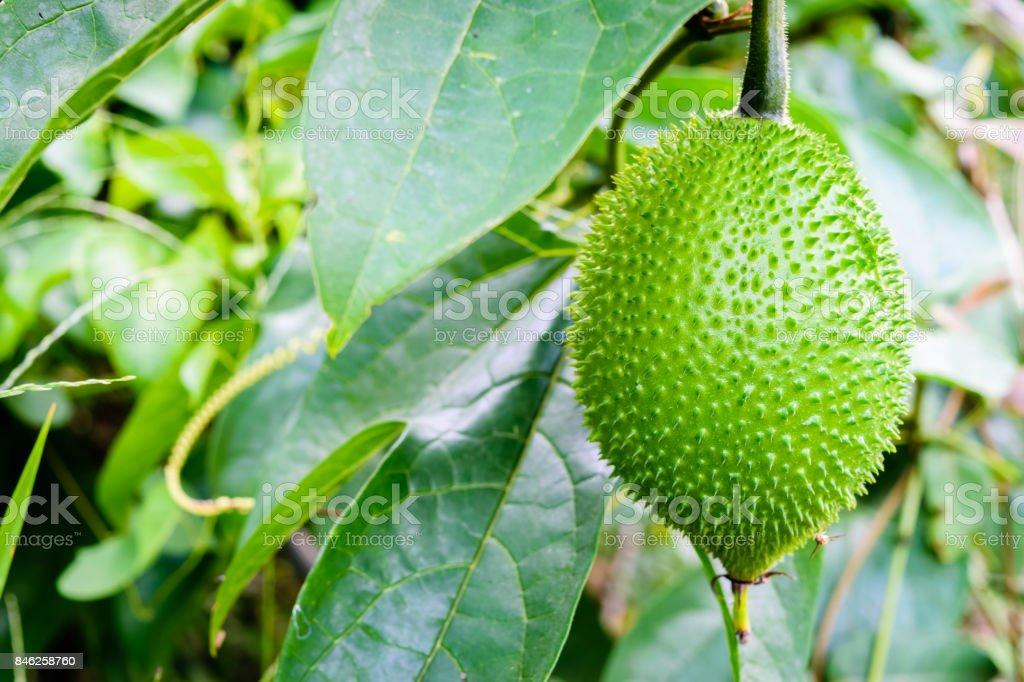 Baby Jackfruit, Spiny Bitter Gourd, stock photo