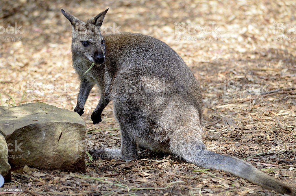 Baby Kangroo by Rock royalty-free stock photo