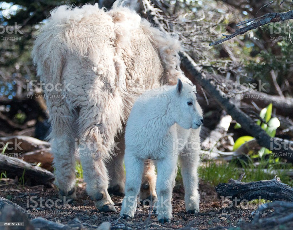Baby Kid and Mother Mountain Goats in Hurricane Ridge thicket stock photo