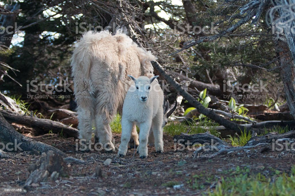Baby Kid and Mother Nanny Mountain Goats Olympic National Park stock photo