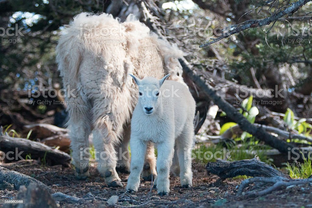 Baby Kid and Mother Nanny Mountain Goats on Hurricane Hill stock photo