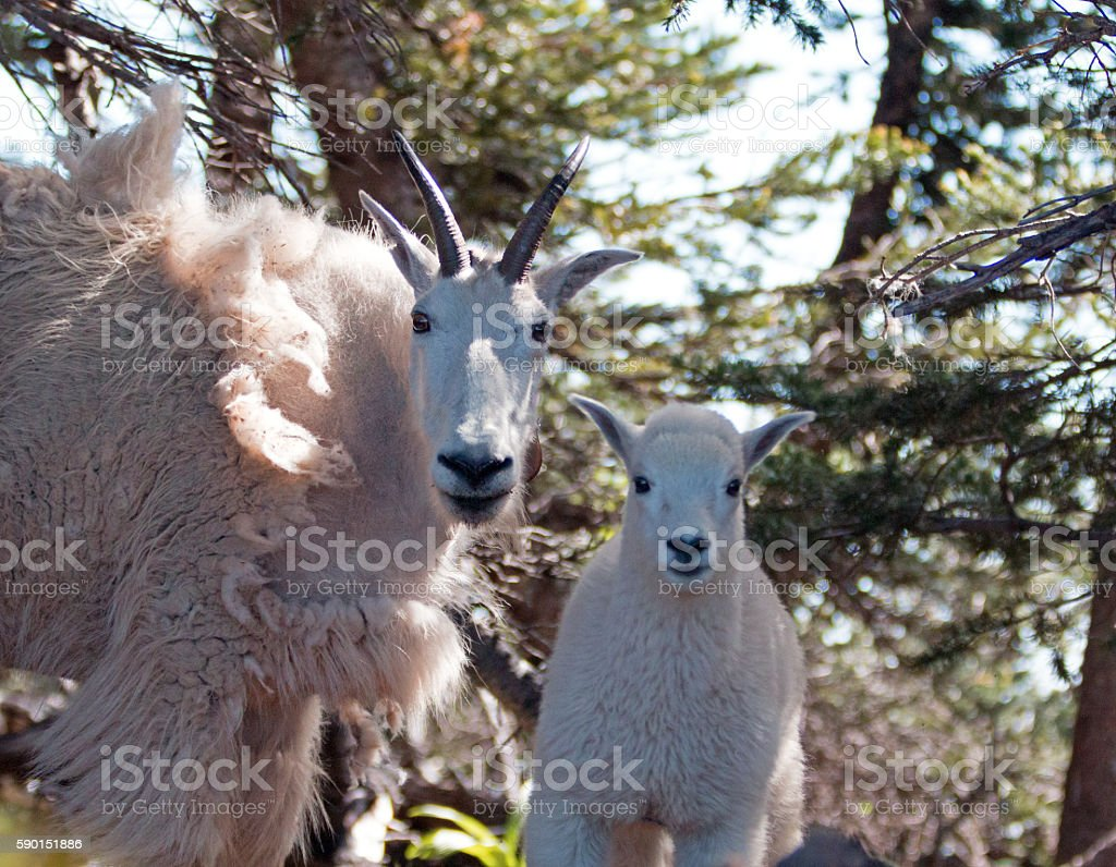 Baby Kid and Mother Nanny Mountain Goats stock photo