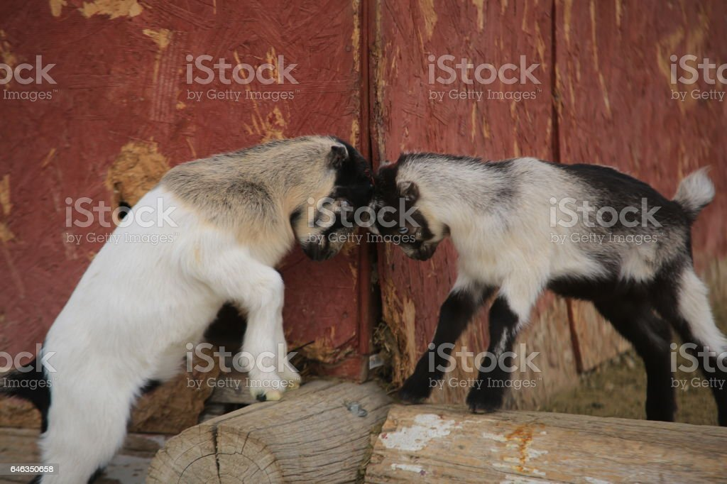 Baby Kid Goats Playing stock photo