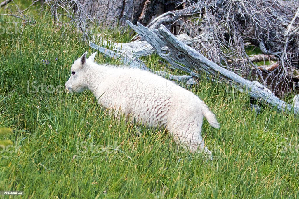 Baby Kid Mountain Goat climbing grassy part of Hurricane Hill stock photo