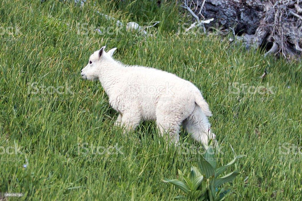 Baby Kid Mountain Goat climbing up grassy Hurricane Hill stock photo