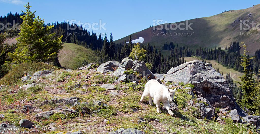 Baby Kid Mountain Goat descending Hurricane Hill stock photo