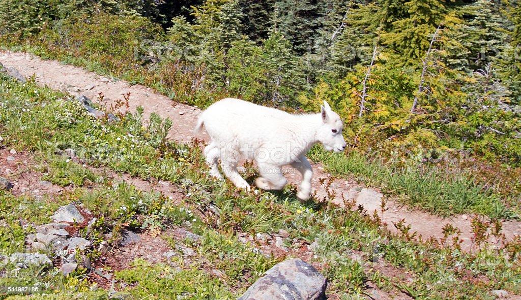 Baby Kid Mountain Goat descending Hurricane Hill / Ridge stock photo
