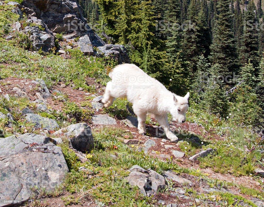 Baby Kid Mountain Goat descending Hurricane Ridge stock photo