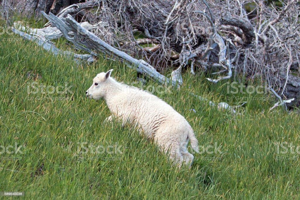 Baby Kid Mountain Goat on grassy knoll on Hurricane Ridge stock photo