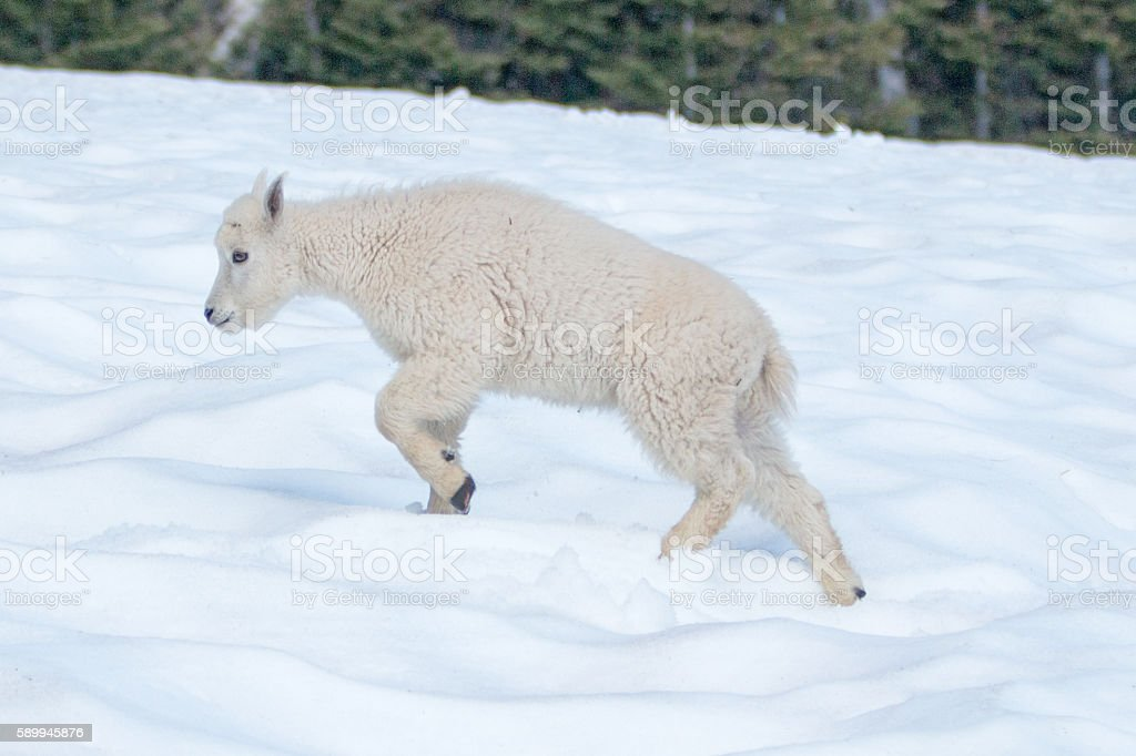 Baby Kid Mountain Goat on Hurricane Hill / Ridge snowfield stock photo