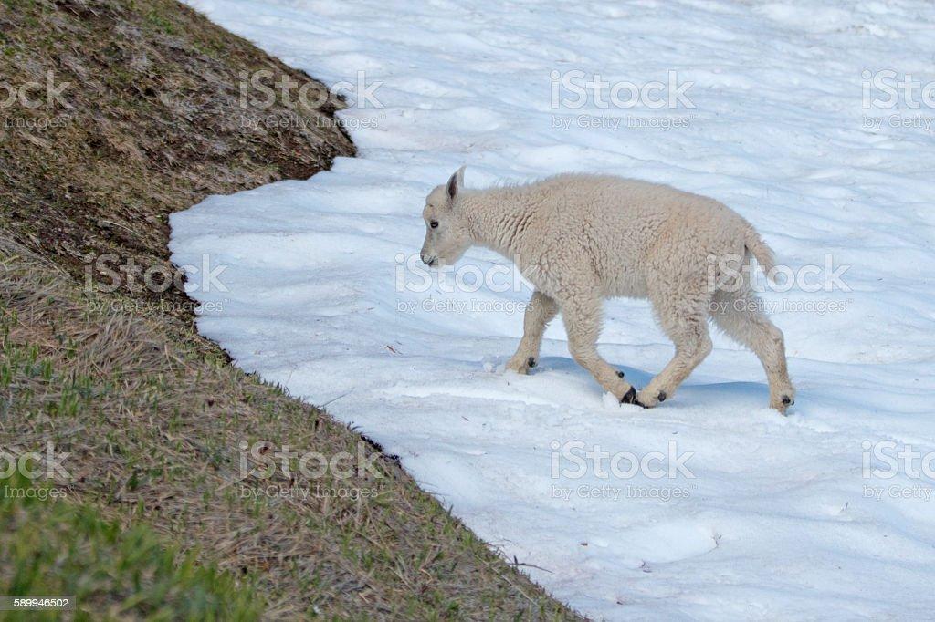 Baby Kid Mountain Goat on Hurricane Hill snowfield stock photo