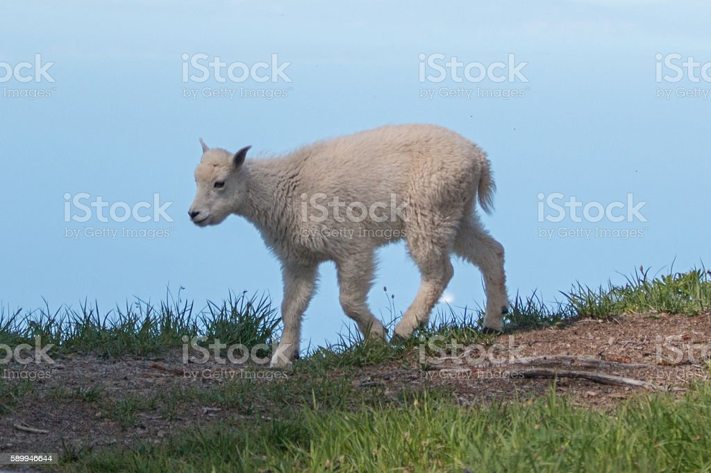 Baby Kid Mountain Goat walking on Hurricane Ridge stock photo