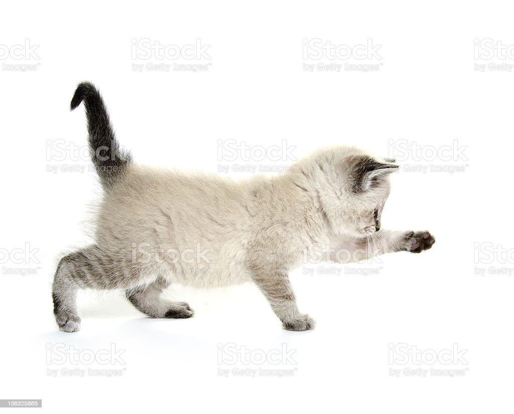 Baby kitten playing stock photo