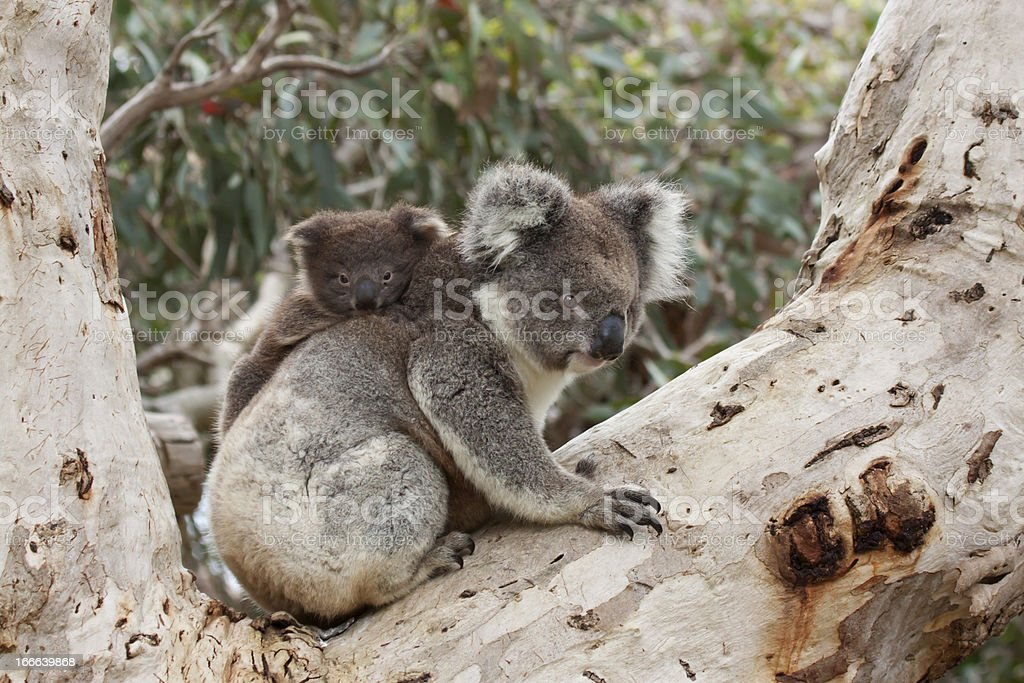Baby Koala on Mother's Back royalty-free stock photo