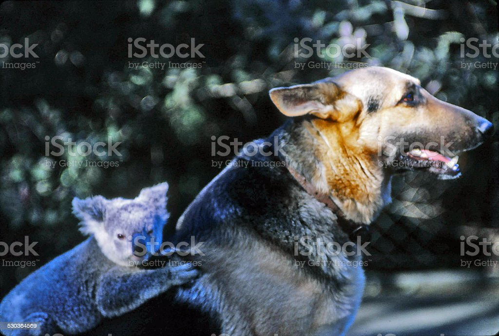 Baby Koala on the back of a German Shepard dog stock photo