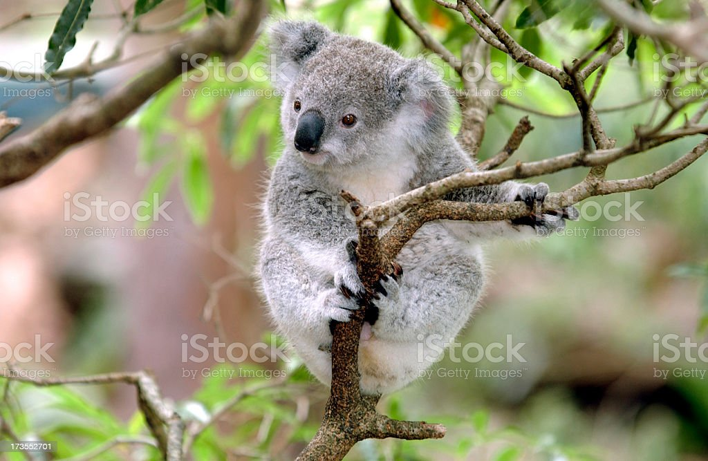 Baby Koala royalty-free stock photo