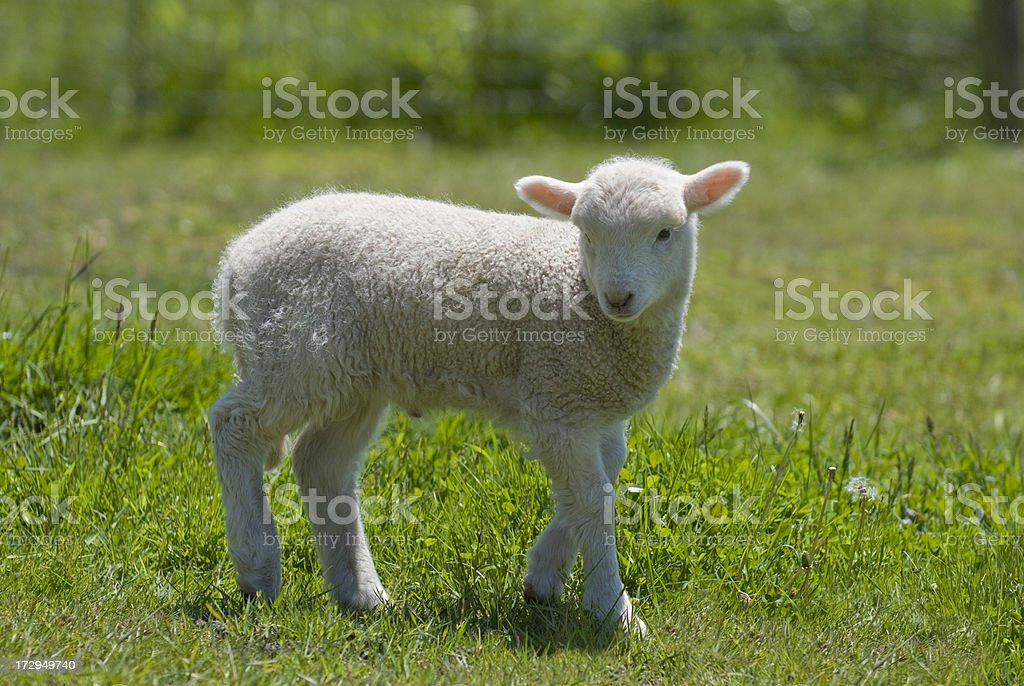 Baby Lamb in a Field royalty-free stock photo