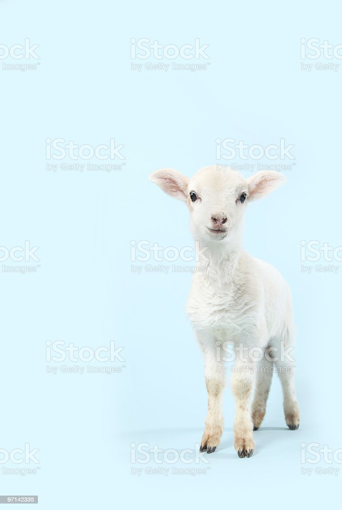 Baby Lamb on Blue stock photo